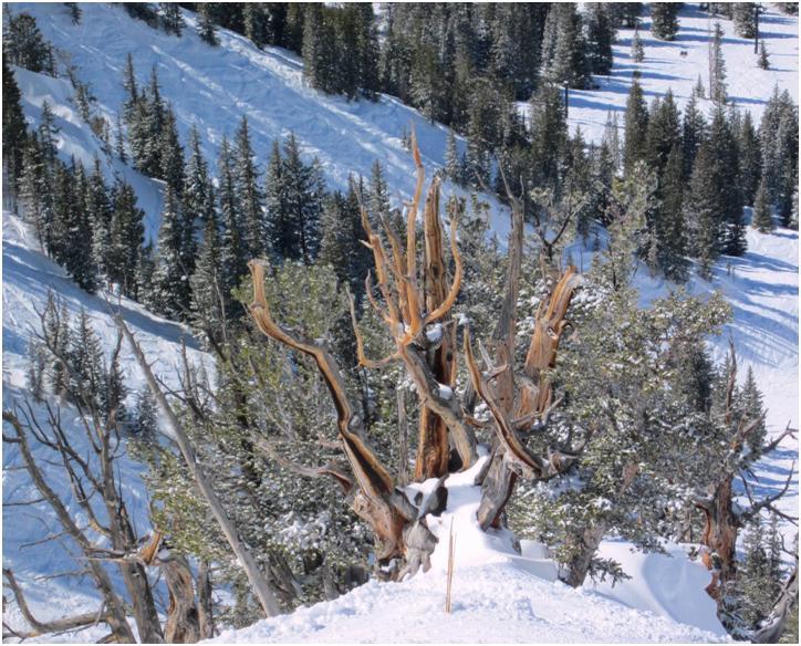 altas trees